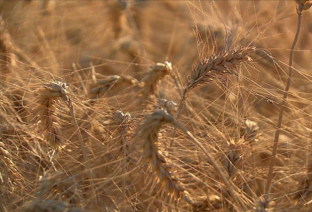 Seca prejudica trigo e pastagem na lavoura