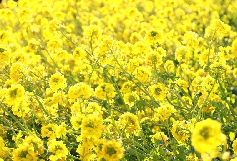 Dia de campo focará na extração de óleos e culturas de inverno