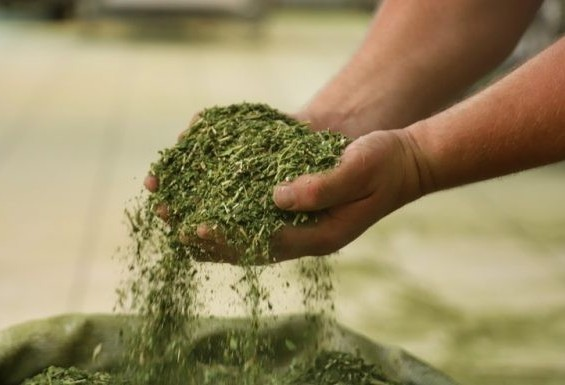 Cerca de 87% da produção de erva-mate no Brasil sai do Paraná
