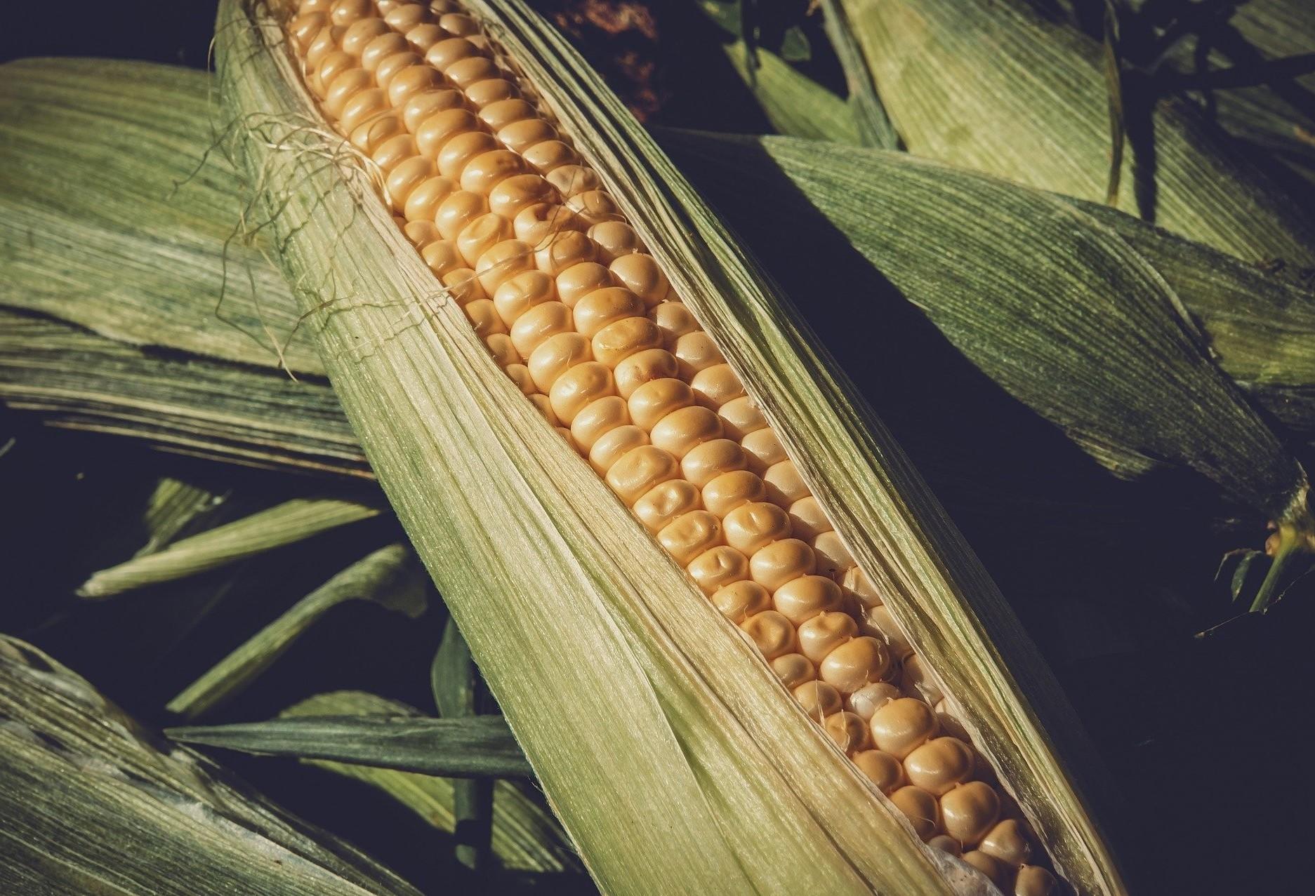 Preços do milho disparam