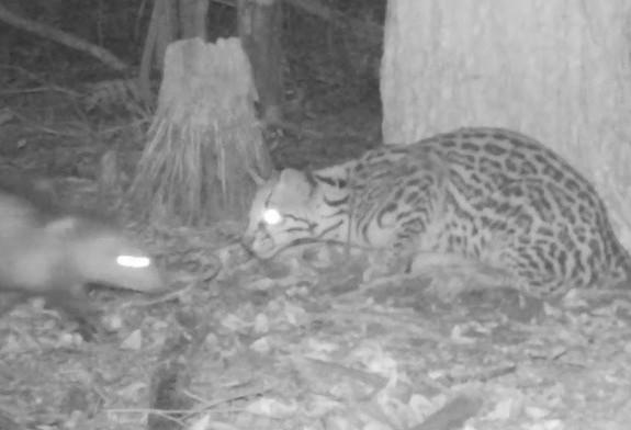 """Vídeo mostra felino atacando um """"ratão"""": veja o resultado da caçada"""