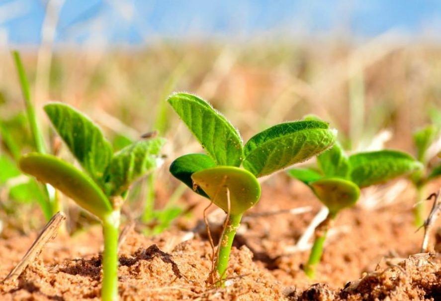 Paraná deve semear  5 milhões de hectares com soja