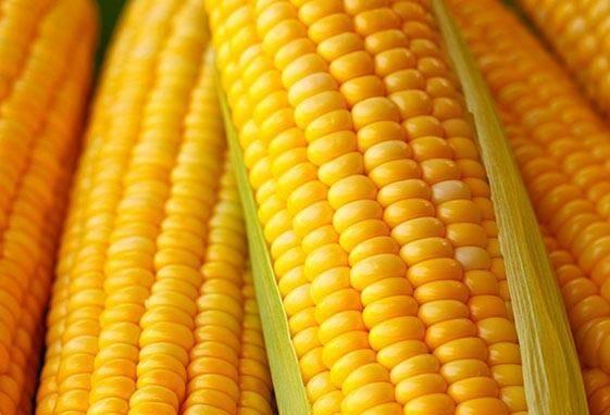 Safra de milho teve recorde de 100 milhões de toneladas