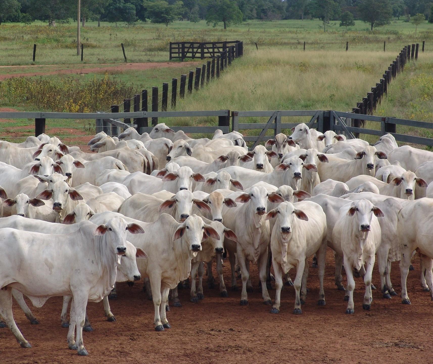 Secretaria de Saúde alerta para foco de raiva bovina em Cascavel