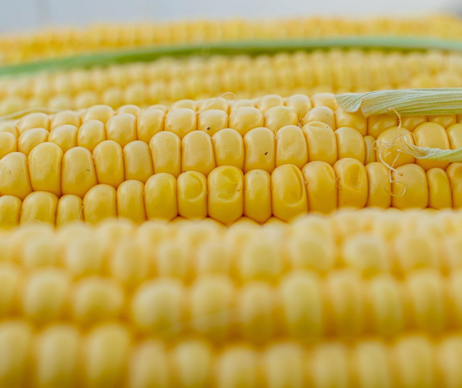 Preço do milho dispara no Brasil