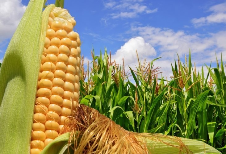 Falta de chuva atrasa safra de milho nos EUA